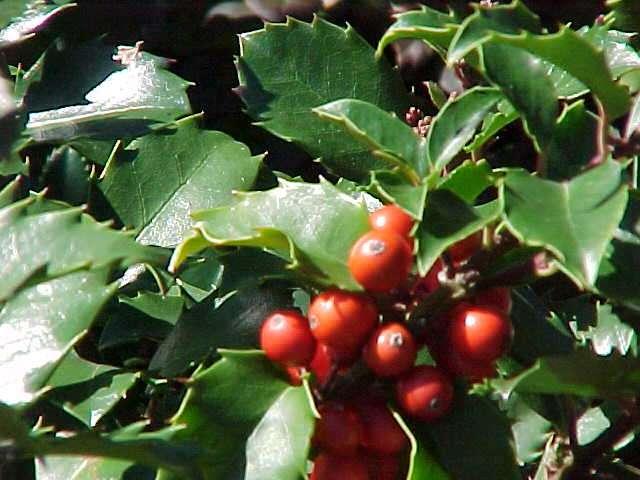 Arbust frunze persistente ILEX MESERVEAE