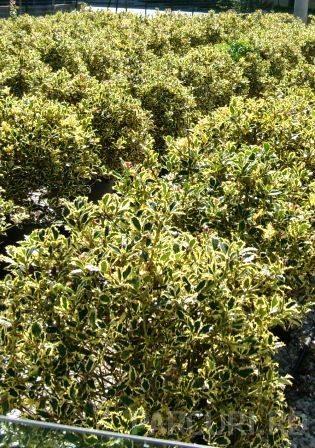 Arbust frunze persistente Ilex auifolium Argenteomarginata