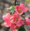 Arbusti cu flori Chaenomeles xsuperba Pink Lady
