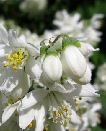 Arbusti cu flori albe Deutzia magnifica