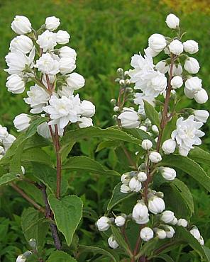 Arbusti de gradina cu flori Deutzia magnifica
