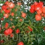 Perdele de plante cataratoare si trandafiri urcatori