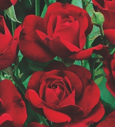 Trandafiri de gradina cu radacina Nina Weibull in ghiveci.