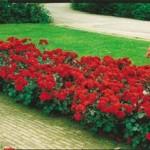 Trandafiri de gradina cu radacina Nina Weibull in ghiveci. Trandafiri Polyantha altoiti cu minim trei ramificatii. Varsta trandafirilor: 3 ani. Trandafiri sanatosi, rezistenti cu inflorire indelungata si flori deosebite.