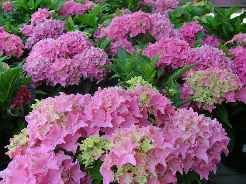 Hortensia roz/Hydrangea` Rosita`