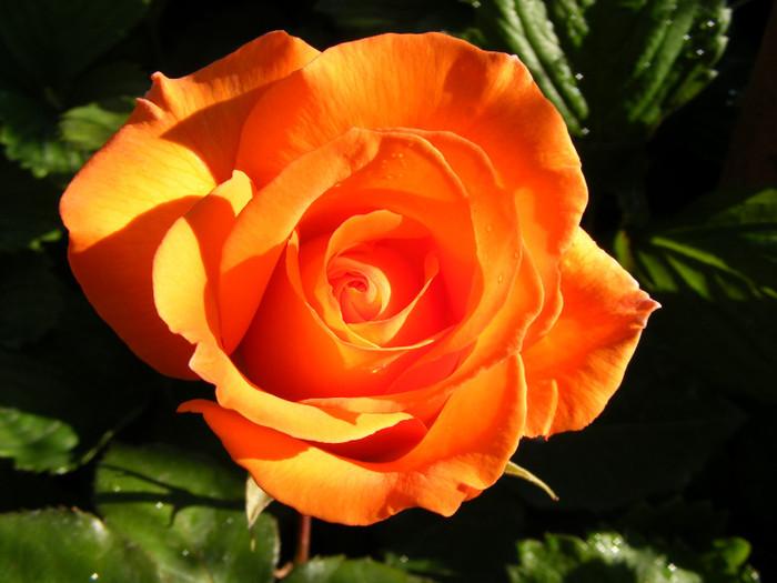 Trandafiri de gradina portocalii soiul Remmy Martin