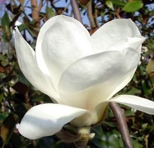 Magnolia denudata`YULAN`