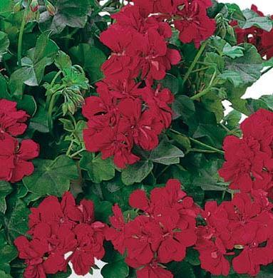 Plante de balcon muscate curgatoare cu floare dubla (Pelargonium peltatum)