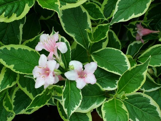 Arbusti cu flori Weigela `Nana Variegata`