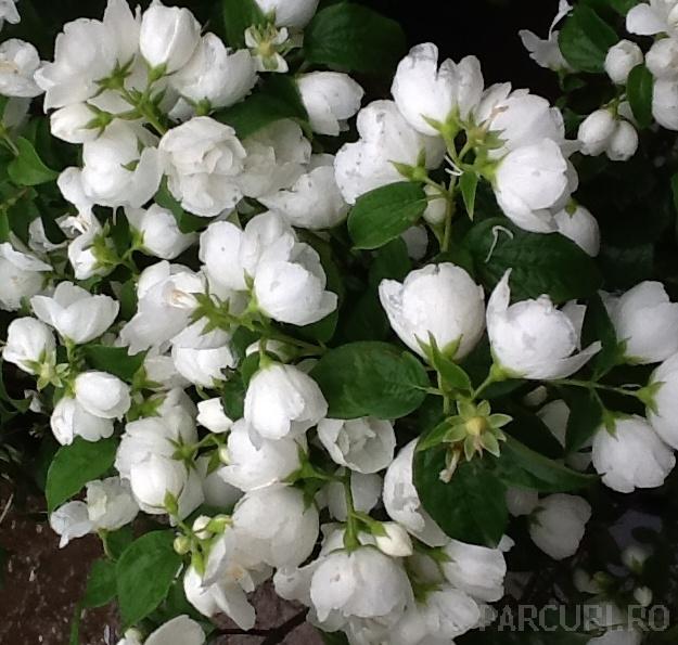 Arbusti gradina Philadelphus Virginal iasomie cu flori duble