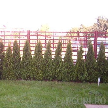 Arbusti rasinosi Thuja Occidentalis Emeraude (Smaragd)