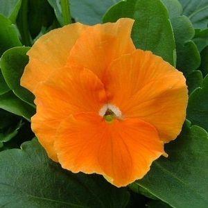 Panselute Pure Orange