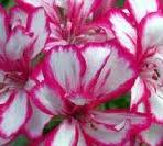 Plante de balcon muscate curgatoare cu floare dubla satirat alb -roz (Pelargonium peltatum)