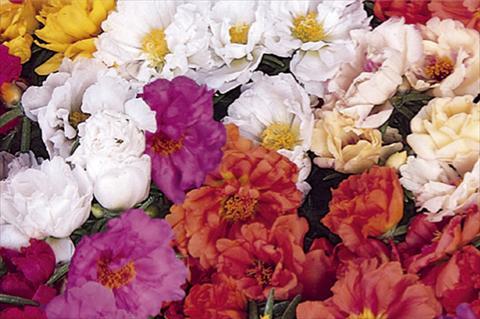 Portulaca grandiflora / Floare de piatra  PORTACINO F1 MIX