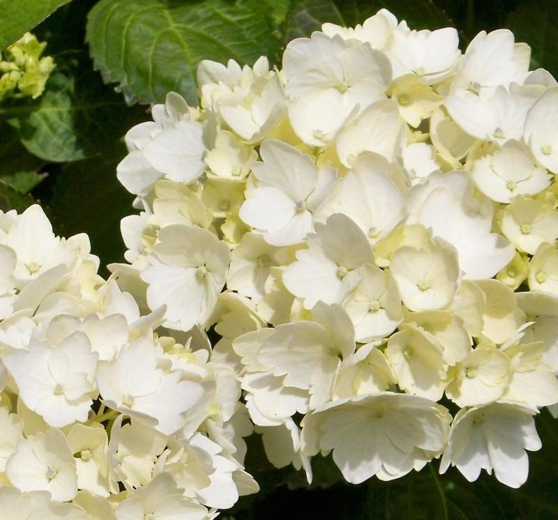 Hortensia alba