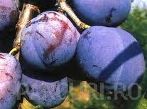 Pomi fructiferi Pruni soiul Silvia. Puieti fructiferi altoiti
