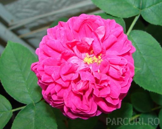 Trandafir pentru dulceata, Sachsengruss