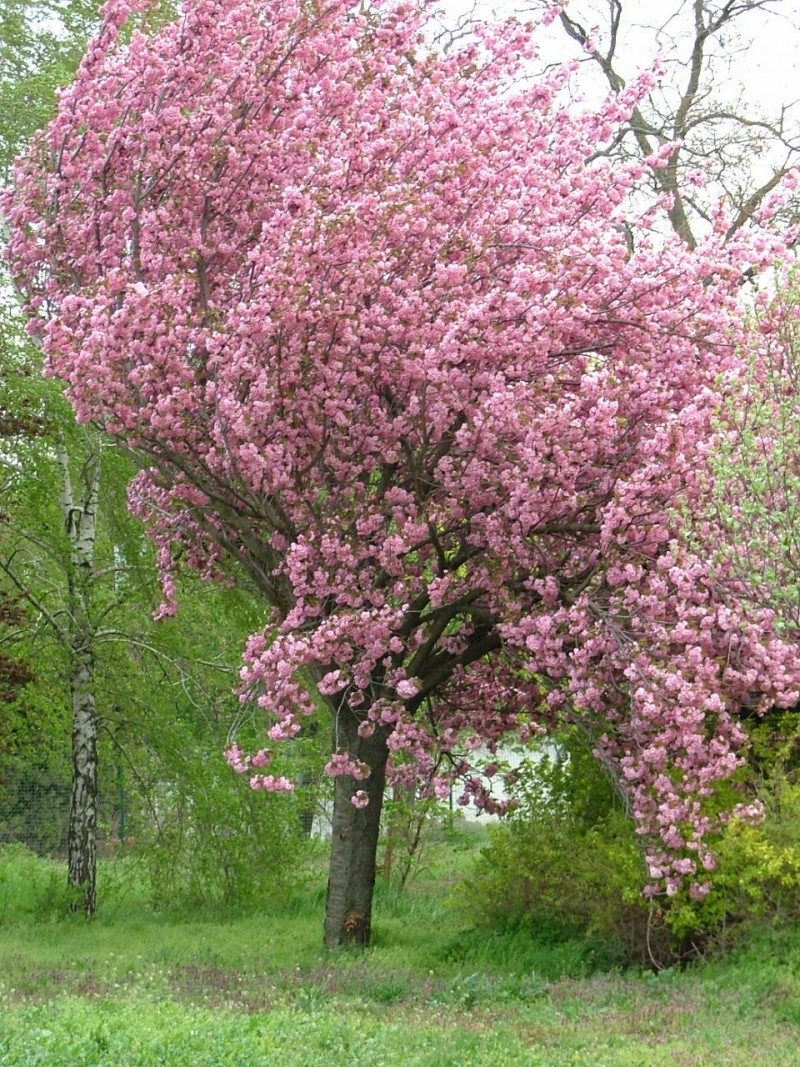 Prunus serrulata Kanzan(exemplar matur)