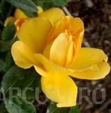 Trandafiri pitici de gradina, Limesgold, (galben),