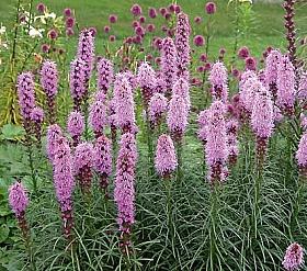 Flori de gradina perene Liatris spicata (Stea stralucitoare)