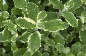 Plante aromatice de gradina Mentha x rotundifolia 'Variegata'