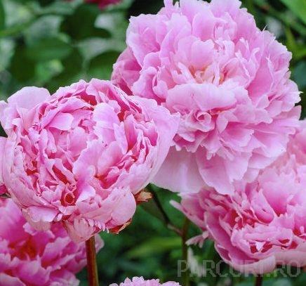 Bujor Paeonia lactiflora 'Sarah Bernhardt'