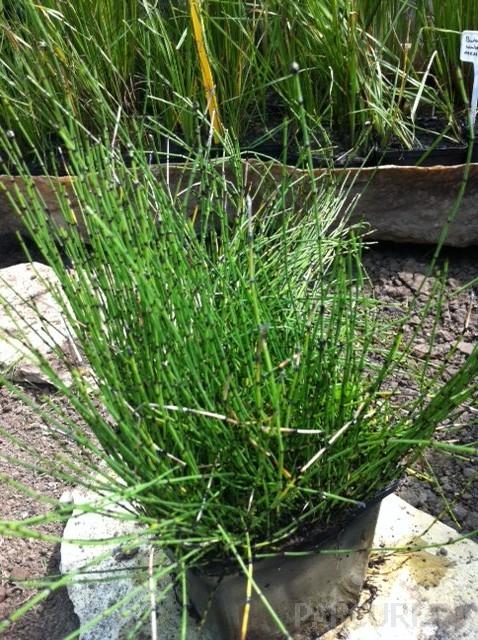 Plante acvatice Equisetum |