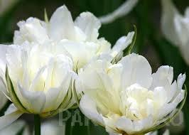 ulbi de lalele Mondial, 7 BUC./Punga, flori duble, albe |