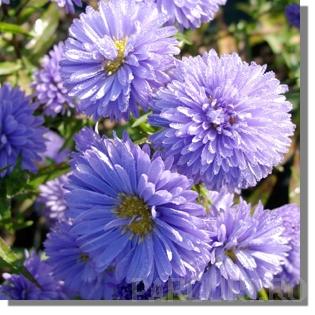 Flori de gradina perene Aster Novi-Belgii 'Marie Ballard' (aster, steluta, ochiul boului de munte)