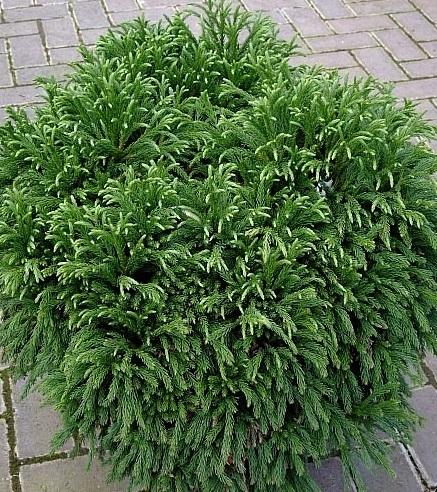 Arbusti rasinosi CRYPTOMERIA JAPONICA `GLOBOSA NANA` ghiveci de 7 litri, 30-40 cm