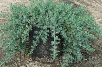 Arbusti rasinosi JUNIPERUS CONFERTA` BLUE PACIFIC` ghiveci 5-7 litri, 30-40 cm