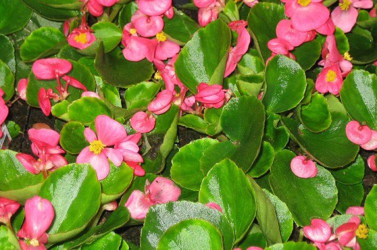 Flori de gradina anuale Begonia semperflorens /Ghetisoara. Flori in ghivece de 9 cm. Poza 8516