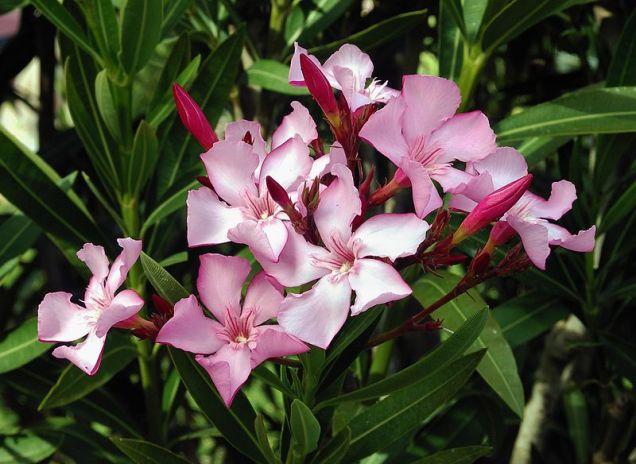 Plante de balcon NERIUM OLEANDER (leandru roz) ghiveci 8 litri h=80-100 cm. Poza 8599