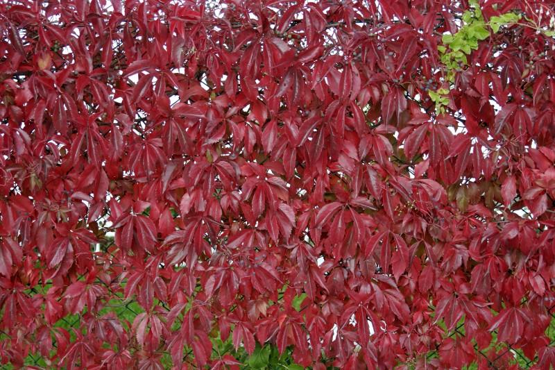 Plante urcatoare vita canadiana Ampelopsis quinquefolia ghiveci 3 litri, h=80-100 cm. Poza 8800