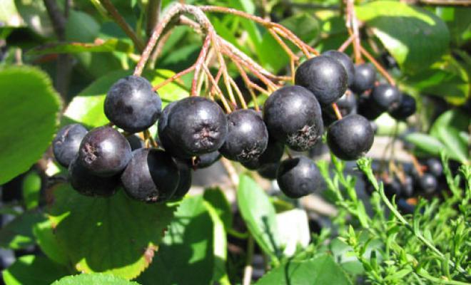 Arbusti fructiferi Aronia melanocarpa (aronia) la ghiveci 5 l, h=40-50 cm. Poza 8802