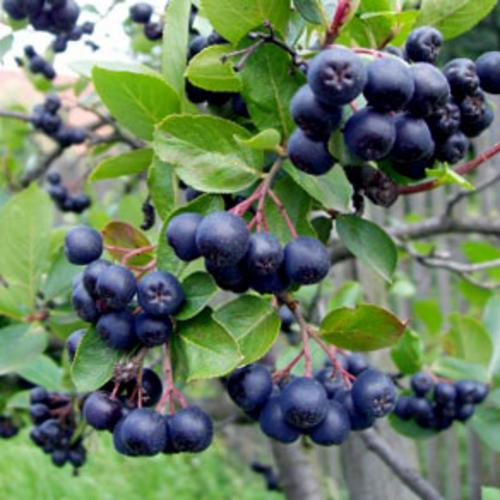 Arbusti fructiferi Aronia melanocarpa (aronia) la ghiveci 5 l, h=40-50 cm. Poza 8803