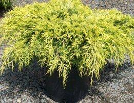 Arbusti rasinosi Juniperus chinensis Armstrong Gold,  ghiveci 5 litri,40-60 cm. Poza 8920