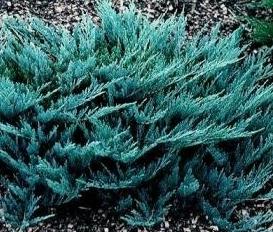 Arbusti rasinosi JUNIPERUS HORIZONTALIS BLUE CHIP ghiveci 3 litri , 30-40 cm. Poza 8926