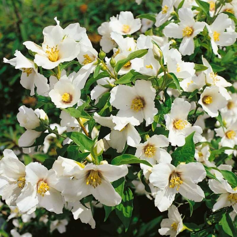 Arbusti parfumati Philadelphus Belle Etoile, (iasomie) , h=80-100cm, ghiveci 7 litri pt garduri vii. Poza 8948