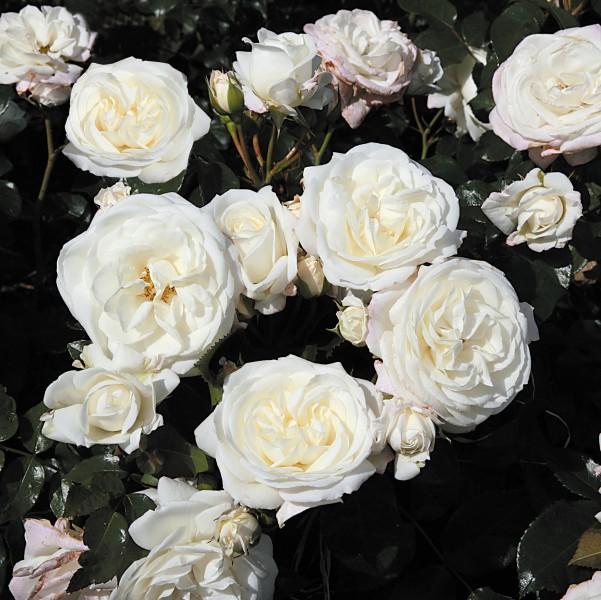 Tradafir grupa Floribunda, trandafir de colectie Alabaster, culoare alba. Poza 9002