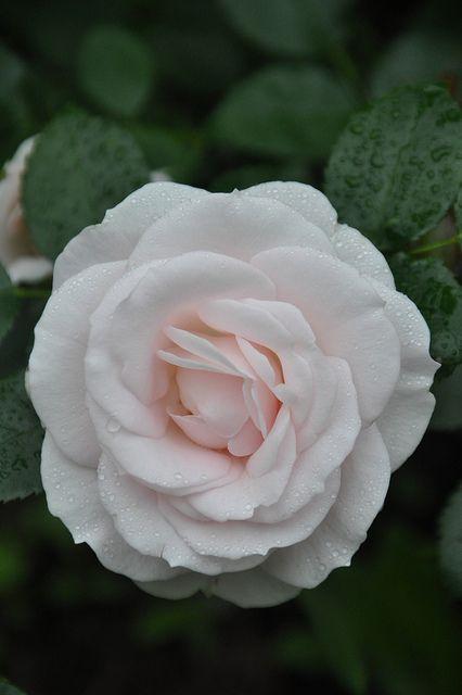 Tradafir pitic. trandafir de colectie Aspirin. Poza 9006