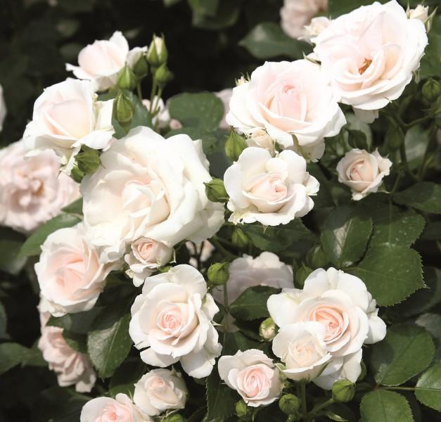 Tradafir pitic. trandafir de colectie Aspirin. Poza 9007