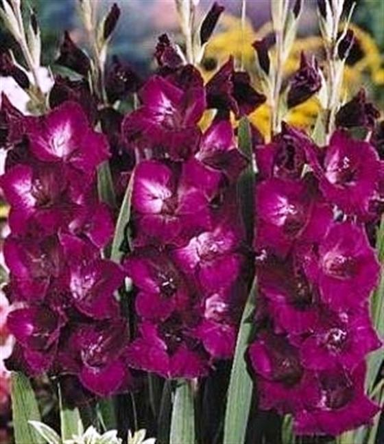 Bulbi plante Gladiolus Plumtart, gladiole , 25 buc/pachet. Poza 9089