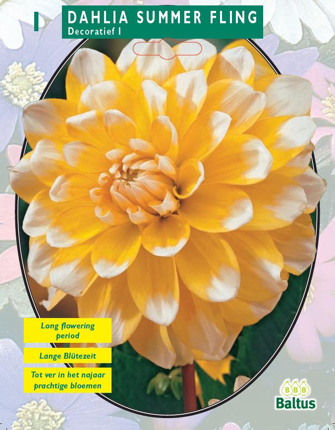 Bulbi plante Dahlia Summer Fling (dalia) , 1 buc/pachet. Poza 9119