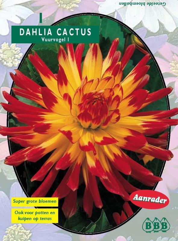 Bulbi plante Dahlia Cactus Vuurvogel  (dalia) , 1 buc/pachet. Poza 9125