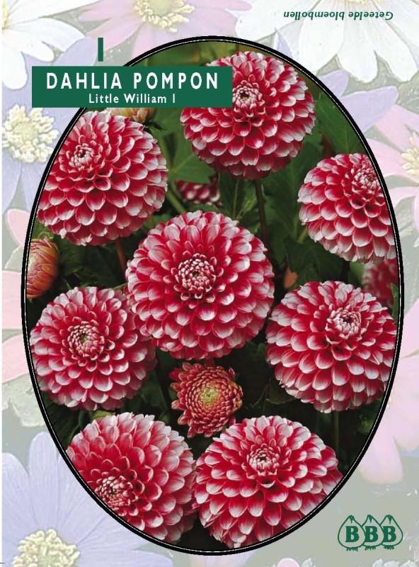 Bulbi plante Dahlia pampon Little William  (dalia) , 1 buc/pachet. Poza 9135
