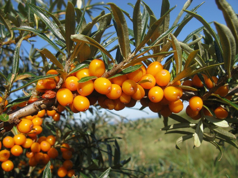 Nou!!Arbusti fructiferi Catina (Hippophae rh. Leikora) , la ghiveci, pe rod. Poza 9218