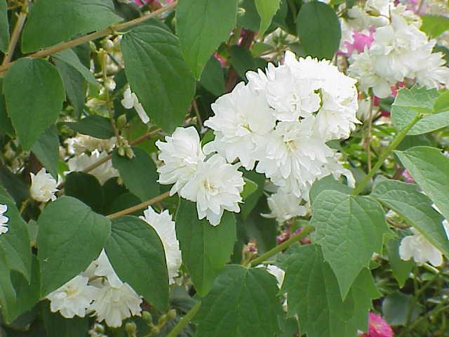 Arbusti parfumati Philadelphus virginalis (iasomie) h=40-60 cm ghiveci 3-4 litri. Poza 9233