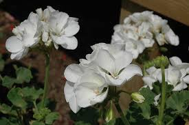 Plante de balcon muscate Pelargonium floare alba. Poza 9255