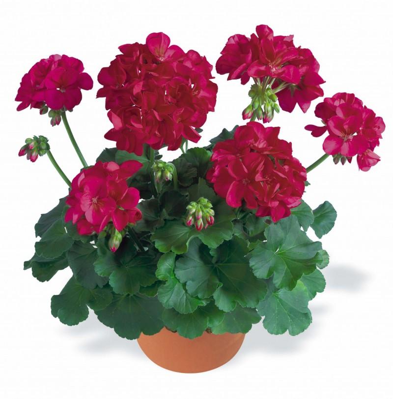 Plante de balcon muscate Pelargonium zonale Dar Red , ghiv 10 cm. Poza 9259